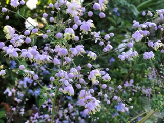 China-Wiesenraute (Thalictrum delavayi)